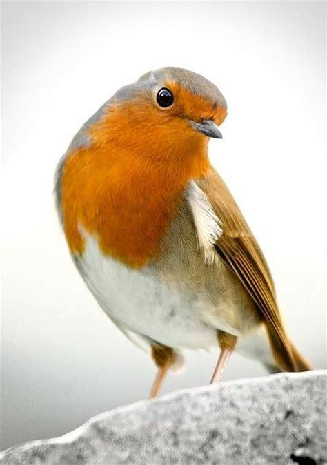 robin winter r 248 dk 230 lk r 248 dhals bird cute nuttet
