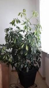 Zimmerpflanze Große Blätter : zimmerpflanzen in karlsruhe pflanzen garten g nstige ~ Lizthompson.info Haus und Dekorationen