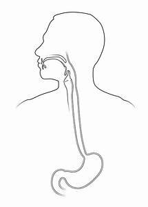 Upper Digestive Tract  Anatomy Sketch