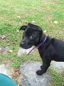 10 week old black lab and pit bull mix. | Dixie ...