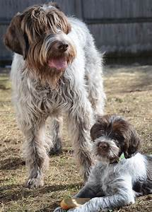 5 Things You Didn't Know About The Wirehaired Pointing ...