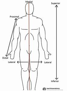 Anatomical Terms Of Location - Anterior