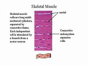 Ch 09 Skeletal Muscle Cell   Fiber Histology