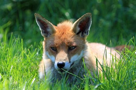 photo fox red fox red resting face  image
