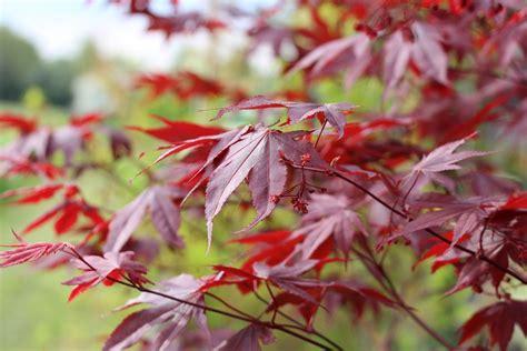 Pilze Im Garten Bodenbeschaffenheit by F 228 Cherahorn Roter F 228 Cher Ahorn Acer Palmatum Pflege