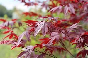 Japanischer Ahorn Standort Sonne : f cherahorn roter f cher ahorn acer palmatum pflege anleitung ~ Eleganceandgraceweddings.com Haus und Dekorationen