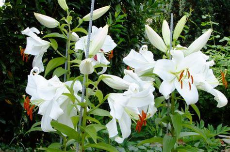 baum lilien überwintern baum lilien tree lilies