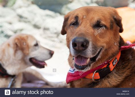 laughing dogs stock  laughing dogs stock images