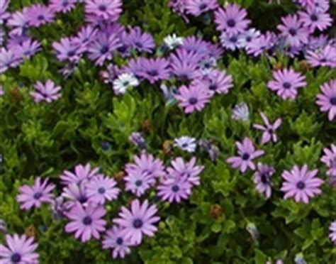 osteospermum plantation taille et entretien