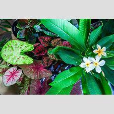 Tropical Plants To Grow Indoors  Tropics @home