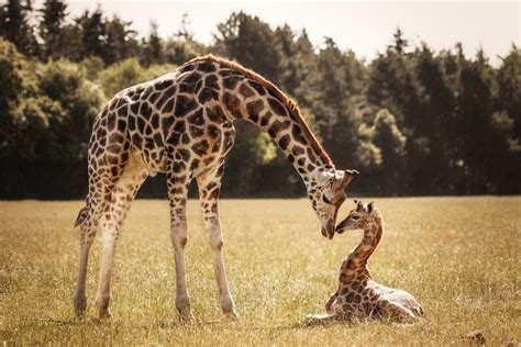 12 Photos Of The Cutest Baby Giraffes