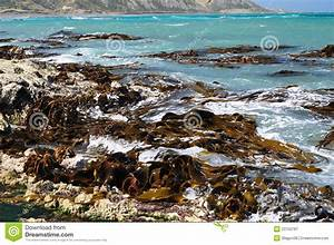 Bull Kelp Seaweeds On Shore Rocks Stock Image