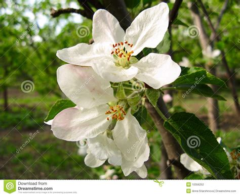 Spring Flowering Of Fruit Trees Stock Photo  Image 10356252