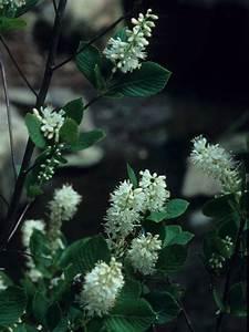 Clethra Alnifolia  Coastal Sweet Pepperbush