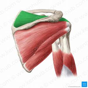 Coracobrachialis Muscle  Anatomy  Innervation  Function