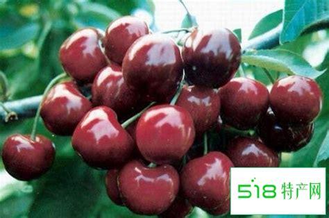 大樱桃最新品种有哪些-518特产网