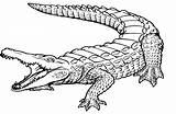 Crocodile Coloring Drawings 1585 1042px 35kb sketch template