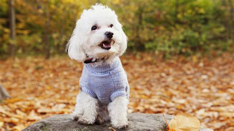 10 non shedding dog breeds your black clothing will thank