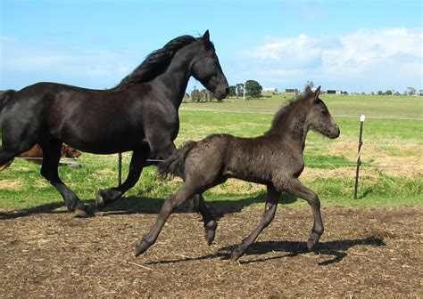 friesian horses beauty born silver foal mambo sable ranch