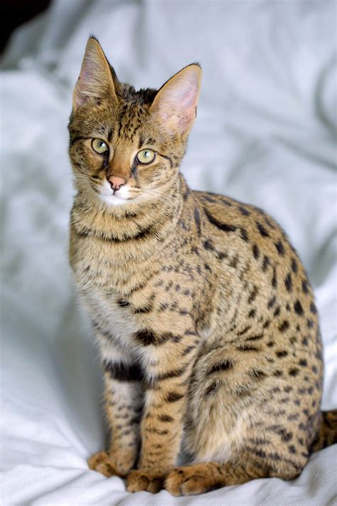 Filesavannah Cat Portraitjpg