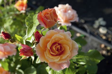 Adaptations Rose Plants Hunker