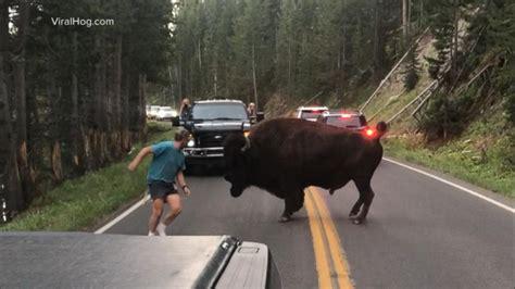 man taunts bison  yellowstone video abc news