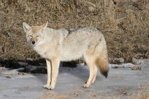 Wolves at Yellowstone National Park