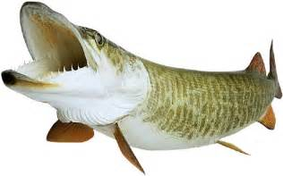 What Does Pike Fish Look Like