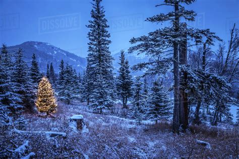 snowy alaskan cluster light tree lighted tree in forest of snow covered trees in