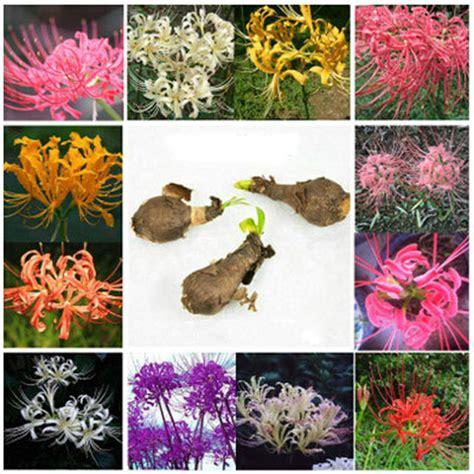 other plants seeds bulbs 5pcs 5 pcs bulbs blue lycoris radiata spider lily lycoris bulb flower seeds ebay