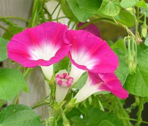 Flower Picture: Morning Glory Flower Picture