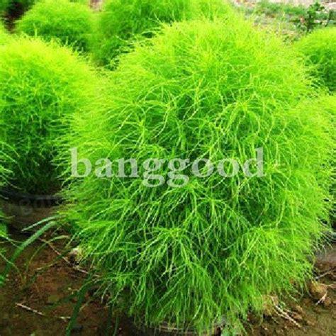 grass burning bush 100 kochia scoparia grass plants seeds us 1 49 sold out