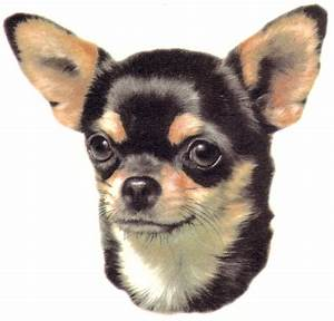 Chihuahua Pictures Photograph Online Brochure- Dogs