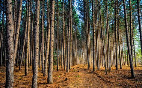 Pine Forest Widescreen Wallpaper