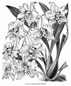 gousicteco: Orchid Clip Art Black And White Images