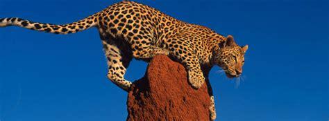 tier des monats leopard lernspass fuer kinder