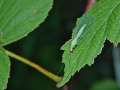 green lacewing animals  northern  york
