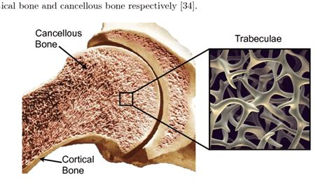4: Cortical & Cancellous Bone (Adapted from [41] and [42 ...