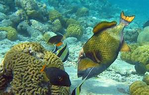 Scuba Diving Under The Triggerfish Attack | OK Divers