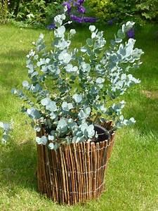 Eucalyptus Plante D Intérieur : les 25 meilleures id es de la cat gorie eucalyptus arbre sur pinterest arbre d 39 eucalyptus ~ Melissatoandfro.com Idées de Décoration