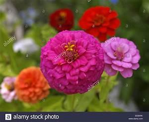Blumen Im Sommer : bluetenblaetter bluete blume blumen sommer zinienblueten bluehen bunt farbig zinie ~ Whattoseeinmadrid.com Haus und Dekorationen