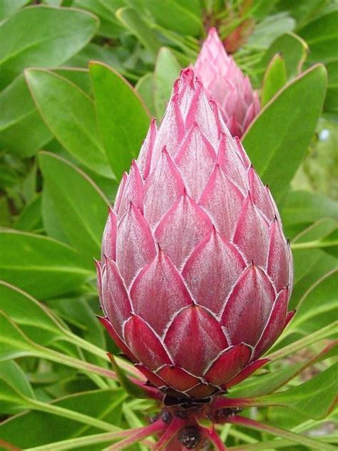 plantfiles pictures protea species giant protea king