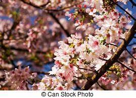 Sakura Baum Kaufen : sakura pflaume stock foto bilder sakura pflaume lizenzfreie bilder und fotografien von ~ Frokenaadalensverden.com Haus und Dekorationen