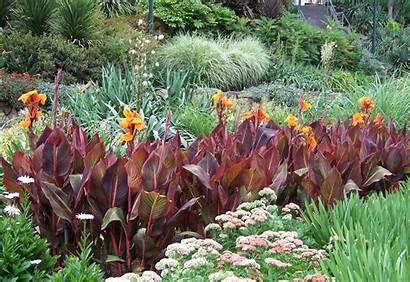 Canna Tropicanna Tropical Plants Combos Garden Colourful