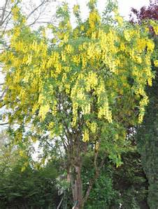 Flowering Trees with Yellow Flowers Identification