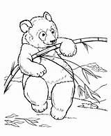 Coloring Panda Bamboo Bear Sun Dinosaur sketch template