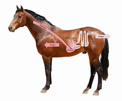 Horse Stomach Healthy Keep Ulcer Horses Gut