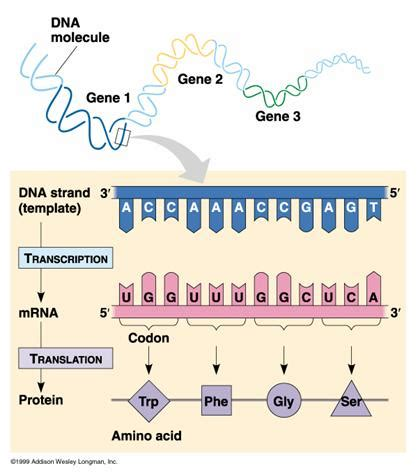 Continuing With Dna  Ms Turin