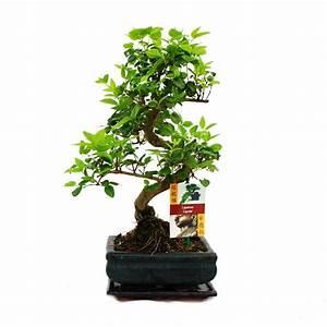 Pflege Bonsai Baum Indoor : bonsai baum pflege bonsai baum pflege zu hause bonsai ~ Michelbontemps.com Haus und Dekorationen
