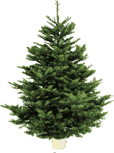 order real christmas tree where to buy real christmas trees in and around edinburgh 9116